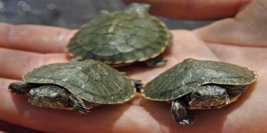 Su Kaplumbağası Ne Yer Kaplumbagagentr